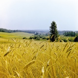 Field of Wheat Photographic Print by Ria Novosti
