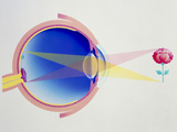 Artwork of Eye In Section Demonstrating Vision Photographic Print by Hans-ulrich Osterwalder