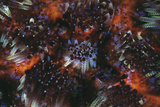 Fire Urchin Spines Poster by Matthew Oldfield