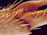 Tip of Ant Foot, SEM Photographic Print by Susumu Nishinaga