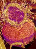 Pituitary Gland Blood Vessels, SEM Photographic Print by Susumu Nishinaga
