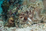 Camouflaged Reef Octopus Prints by Matthew Oldfield