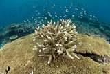 Acropora Coral Prints by Matthew Oldfield