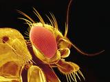 Drosophila Fly, SEM Photographic Print by Susumu Nishinaga