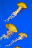 Brown Jellyfish Photographic Print by David Nunuk