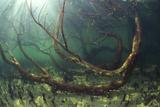 Mangrove Swamp Fotografisk tryk af Alexis Rosenfeld