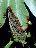Army of Leaf Beetle Larvae Photographic Print by Dr. Morley Read