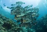 School of Bumphead Parrotfish Photo by Matthew Oldfield