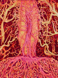 Pituitary Gland Blood Vessels, SEM Posters by Susumu Nishinaga