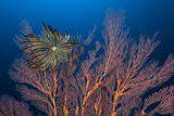 Sea Fan And Crinoid Photographic Print by Matthew Oldfield
