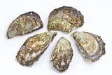 Pacific Oysters Print by David Nunuk