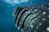 Whale Shark Gills Print by Alexis Rosenfeld