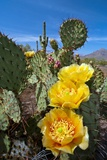 Prickly Pear Cactus Flowers Photographic Print by David Nunuk
