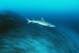 Whitetip Reef Shark Print by Matthew Oldfield