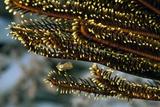 Squid Hiding In Feather Star Fotografisk tryk af Matthew Oldfield