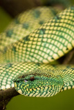 Wagler's Pit Viper Photographic Print by Matthew Oldfield