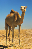 Dromedary (single-humped) Camel In the Desert Photographic Print by David Parker
