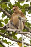 Proboscis Monkey Prints by Matthew Oldfield