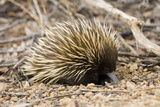 Short-beaked Echidna Photographic Print by Matthew Oldfield
