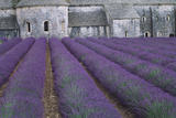 Field of Lavender Prints by David Nunuk