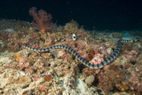 Sea Krait Photographic Print by Matthew Oldfield