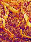 Blood Vessels on a Colon, SEM Prints by Susumu Nishinaga
