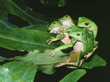 Mating Green Tree Frogs Photographic Print by Dr. Morley Read