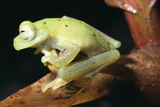 Glass Frog Photographic Print by Dr. Morley Read