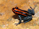 Poison Arrow Frog Photographic Print by Dr. Morley Read