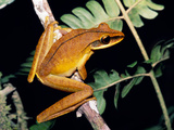 Hyla Lanciformis, Amazonian Tree Frog Photographic Print by Dr. Morley Read