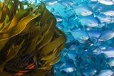 Strap Kelp And Blue Maomao Prints by Matthew Oldfield