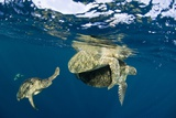 Green Turtles Mating Prints by Matthew Oldfield