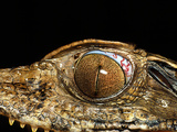Juvenile Caiman with Eye Parasite Photographic Print by Dr. Morley Read