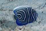 Emperor Angelfish Photographie par Matthew Oldfield
