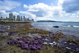 Purple Starfish on a Beach, Canada Prints by David Nunuk