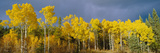 Aspen Trees In the Autumn Posters by David Nunuk