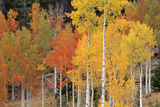 Autumn Aspen Trees Photographic Print by David Nunuk