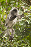 Silver Leaf Langurs Posters by Matthew Oldfield