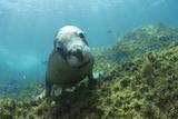 Australian Sea Lion Reprodukcja zdjęcia autor Matthew Oldfield