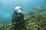 Australian Sea Lion Photographic Print by Matthew Oldfield