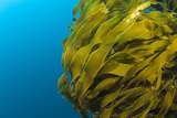 Strap Kelp Posters by Matthew Oldfield