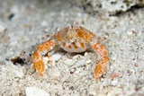 Pebble Crab Burying In the Sand Prints by Matthew Oldfield