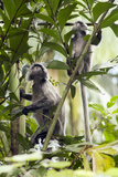 Silver Leaf Langur Photographic Print by Matthew Oldfield
