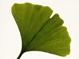 Leaf of Ginkgo Biloba Photographic Print by  PASIEKA