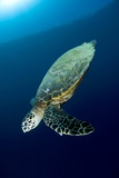 Hawksbill Turtle Posters by Matthew Oldfield