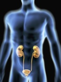 Human Urinary System, Artwork Photographic Print by  PASIEKA