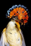 Amazonian Royal Flycatcher Photographic Print by Dr. Morley Read