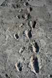 Trail of Laetoli Footprints. Photographic Print by John Reader