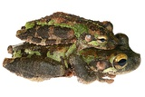 Buckley Bonehead Frogs Mating Photographic Print by Dr. Morley Read