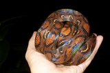 Rainbow Boa Photographic Print by Dr. Morley Read
